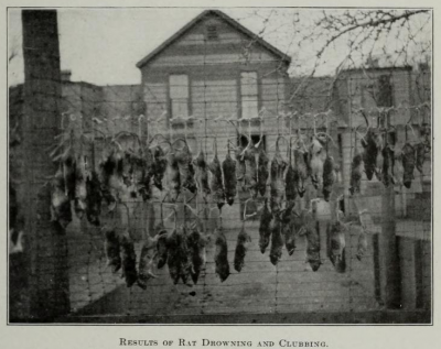 Bodies of rats drowned or clubbed to death on Thompson Island in Boston harbor, 1915